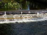 Issaquah Salmon Run
