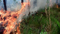 Prescribed Fire in a Pitcher Plant Bog