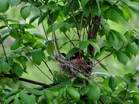Rose-Breasted Grosbeak on Nest