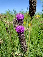 Blazing Star (Liatris sp)