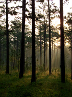 Longleaf Sunrise