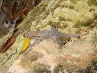 Curly-Tailed Lizard (Leiocephalus carinatus)