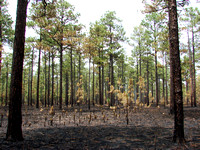Longleaf Forest After Fire