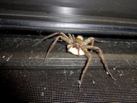 Brown Huntsman Spider (Heteropoda venatoria) with egg sac