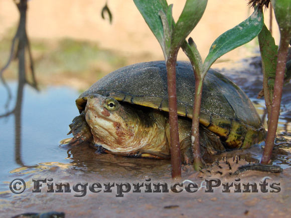 Yellow Mud Turtle (Kinosternon flavescens)