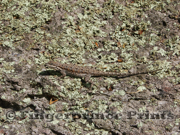 Ornate Tree Lizard (Urosaurus ornatus)