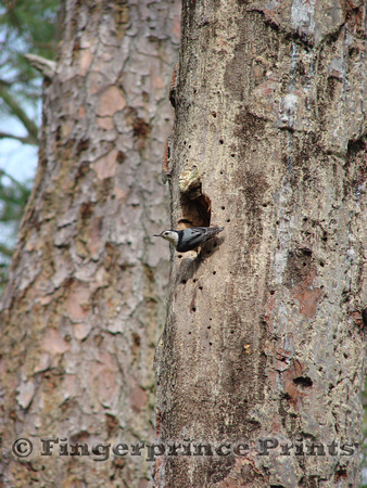 White-Breasted Nuthatch at Cavity
